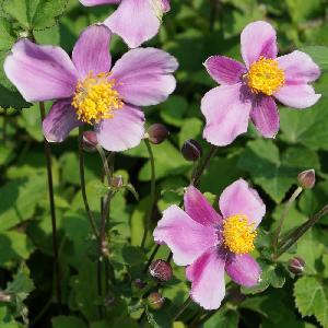 ANEMONE hupehensis 'Bowles's Pink'