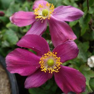 ANEMONE hupehensis 'Red Riding'® (Fantasy Series)
