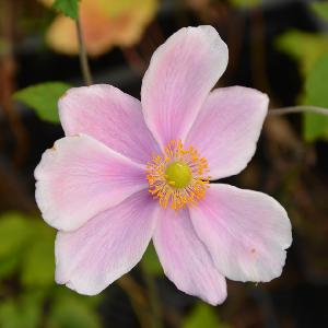 ANEMONE hybrida 'Loreley'