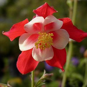 AQUILEGIA 'Crimson Star'