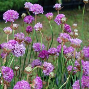 ARMERIA 'Joystick Lilac Shades'