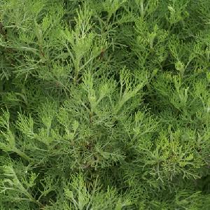 ARTEMISIA abrotanum (Aurone)