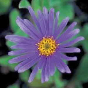 ASTER amellus 'Catherine'