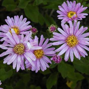 ASTER amellus 'Rosa Erf?llung' ('Pink Zenith')