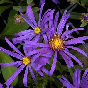 ASTER amellus 'Veilchenkönigin' (A. 'Violet Queen'