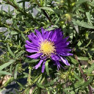 ASTER 'Blue Lapis' (Dumosus Group)