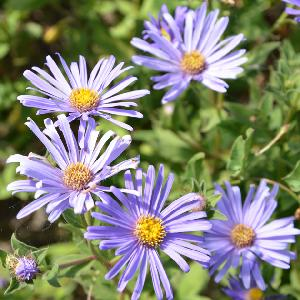 ASTER frikartii 'M?nch'