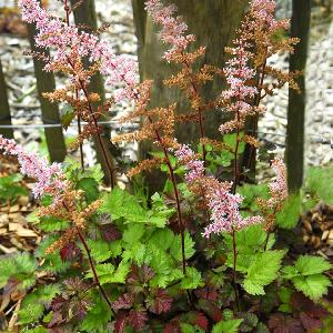 ASTILBE 'Color Flash' ® ('Beauty of Ernst')