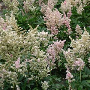 ASTILBE 'Peach Blossom' (Japonica Group)