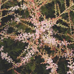 ASTILBE 'Sprite' (Simplicifolia Group)