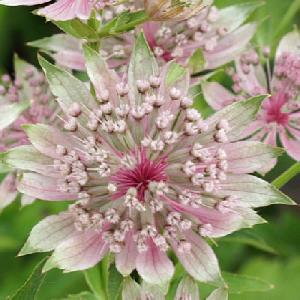 ASTRANTIA major 'Pink Sensation'