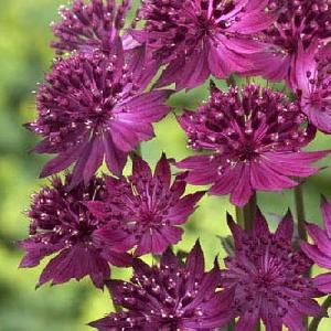 ASTRANTIA major 'Venice'®