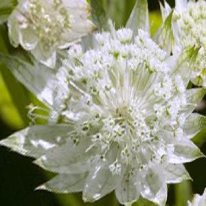 ASTRANTIA major 'White Angel'