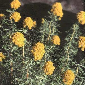 ATHANASIA crithmifolia