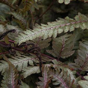 ATHYRIUM niponicum var. pictum (A. nip. 'Metallicu