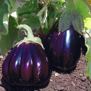 AUBERGINE ?Black Beauty?