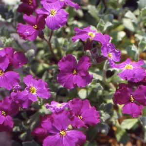 AUBRIETA 'Red Dyke'