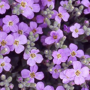 AUBRIETA 'Royal violet'