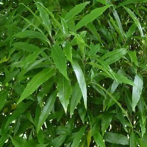 AUCUBA japonica f.longifolia 'Salicifolia'