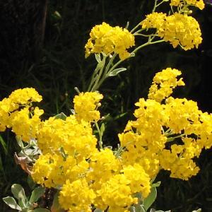 AURINIA saxatilis (Alyssum saxatile)