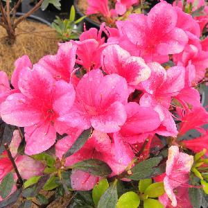 AZALEA japonica 'Andante'