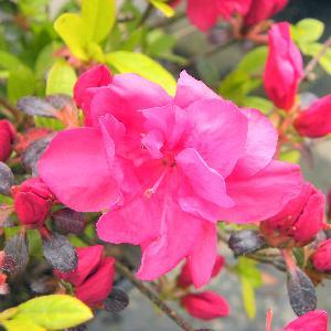 AZALEA japonica 'Arabesk'