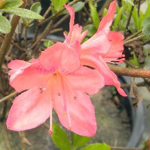 AZALEA japonica 'Blaauw's Pink'