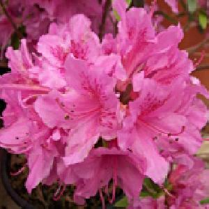 AZALEA japonica 'Chelsoni'