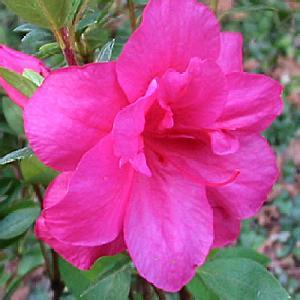 AZALEA japonica 'Christina'