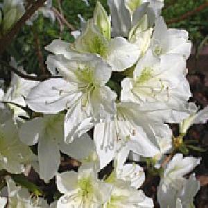 AZALEA japonica 'Dorothy Hayden'
