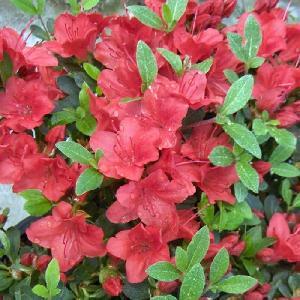 AZALEA japonica 'Fridoline'