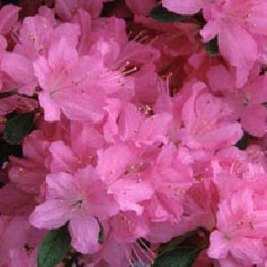 AZALEA japonica 'Gilbert Mullie'