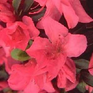 AZALEA japonica 'Gorbella'