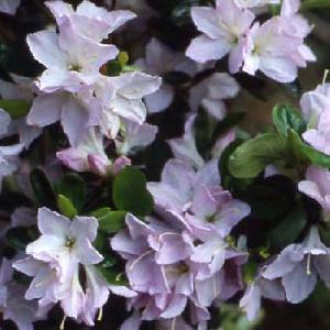 AZALEA japonica 'Irohayama'