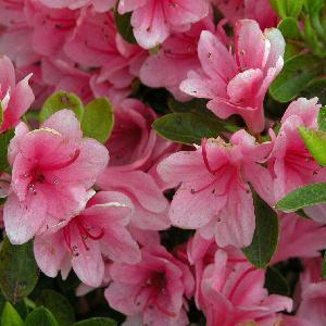 AZALEA japonica 'Kirin'