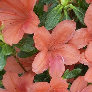 AZALEA japonica 'Orange Beauty'