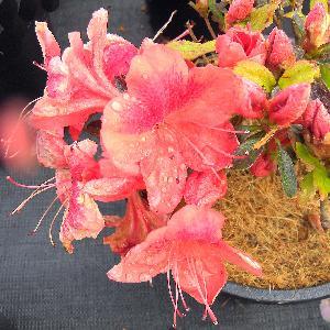 AZALEA japonica 'Philinte'