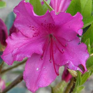 AZALEA japonica 'Purple Splendour'