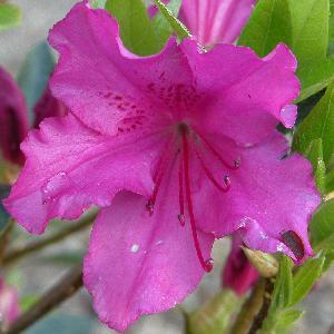 AZALEA japonica 'Purple Splendour'
