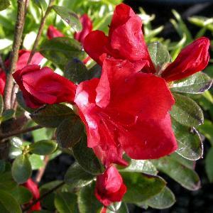 AZALEA japonica 'Santa Maria'
