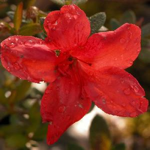 AZALEA japonica 'Sakata Red'