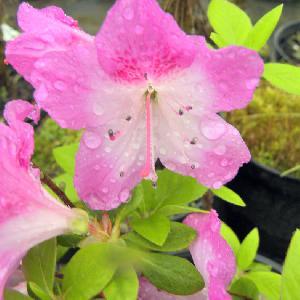 AZALEA japonica 'Stunner'