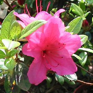 AZALEA japonica 'Vuyk's Rosyred'