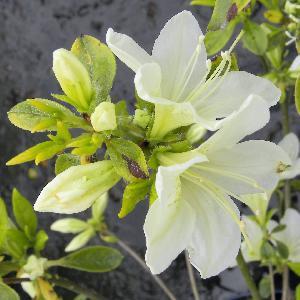 AZALEA japonica 'White Lady'