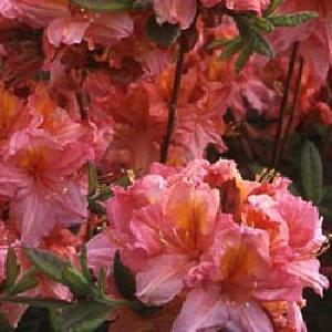 AZALEA mollis 'Berryrose'