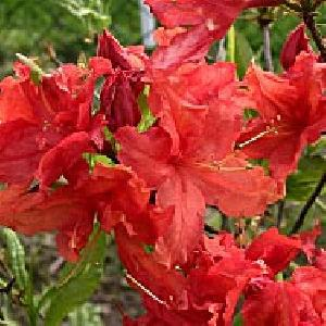 AZALEA mollis 'Hotspur Red'