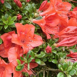 AZALEA nakaharae 'Orange'