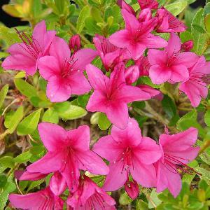 AZALEA nakaharae 'Pink Cascade'