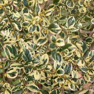 AZARA microphylla 'Variegata'
