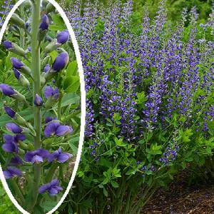 BAPTISIA australis 'Blueberry Sunday'